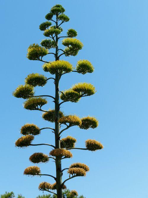 agave inflorescence agavengewächs