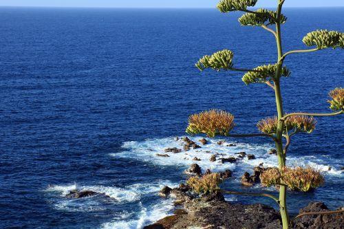 agave agave flower ocean