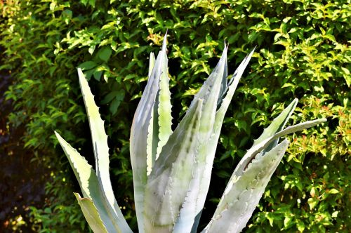 agavė,kaktusas,paskatinti,dygliuotas,dykumos kaktusas,erškėčių,dykuma,augalas,pažymėtas,žalias,flora,gamta