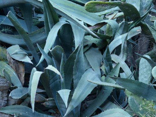 agave leaves spiny
