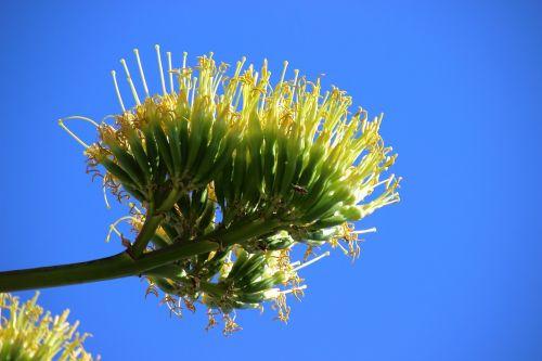 agave agave flower blossom