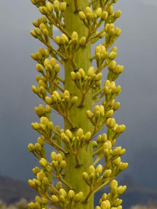agave utah agave grand canyon