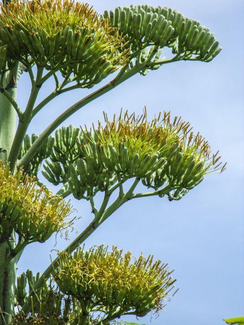 agave flower agave blossom