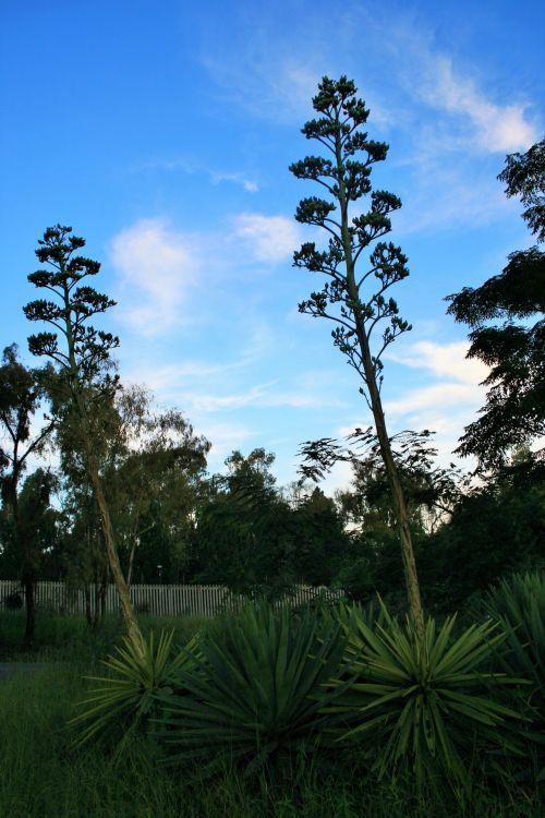 Agave Sisalana Plants