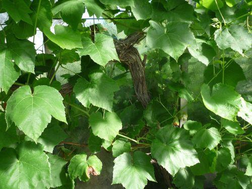 age ivy climber