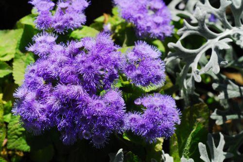 ageratum flower nature