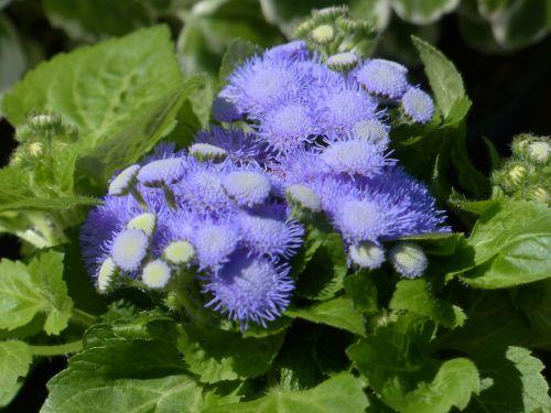 ageratum houstonianum blueme blossom