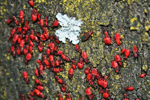 Aggregation Of Soapberry Bugs