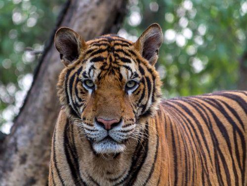 tiger aggression animals