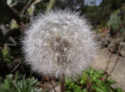 agoseris grandiflora california dandelion bigflower agoseris