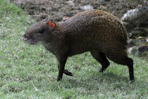 agouti rodent animal