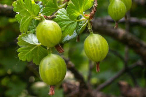 Gooseberry On The Bush In The Garden
