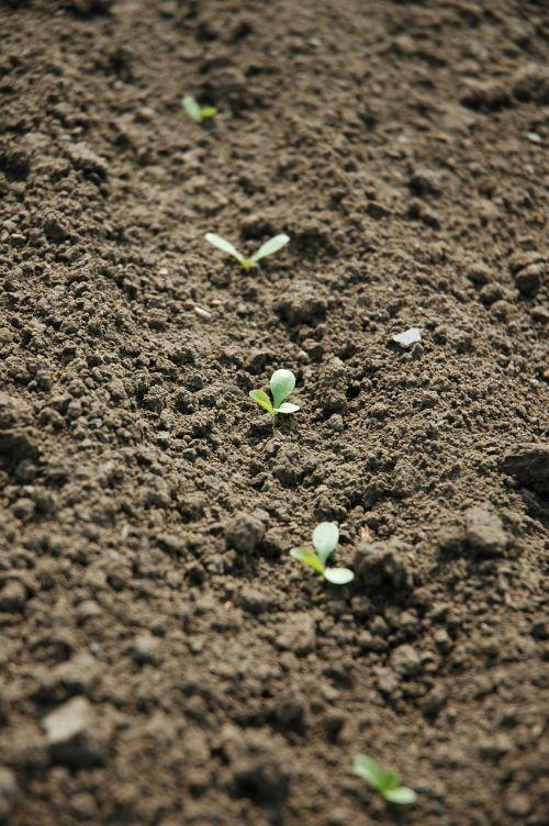 agriculture seedlings field