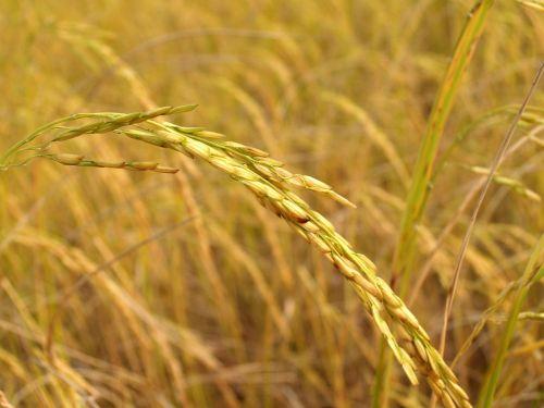 agriculture asia autumn