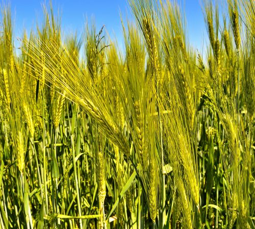 agriculture cereals food