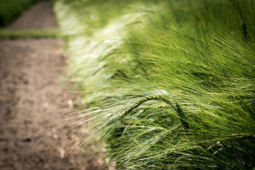 agriculture cereals barley