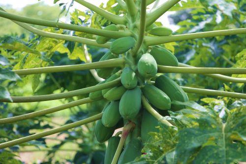 agriculture papaya fruit