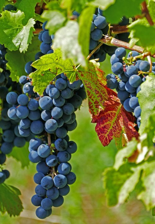 agriculture  viticulture  vineyards
