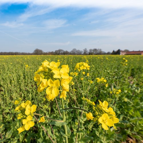 agriculture  oilseed rape  crop