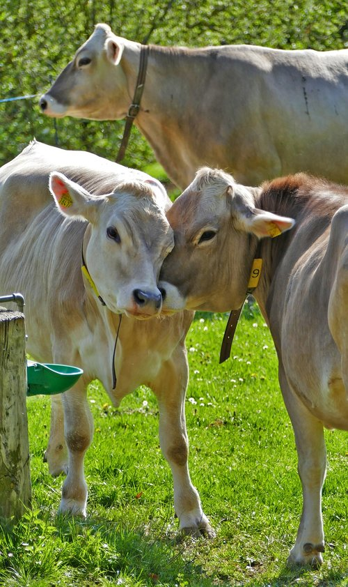 agriculture  cattle breeding  cows