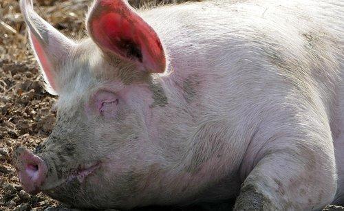 agriculture  animal husbandry  pig