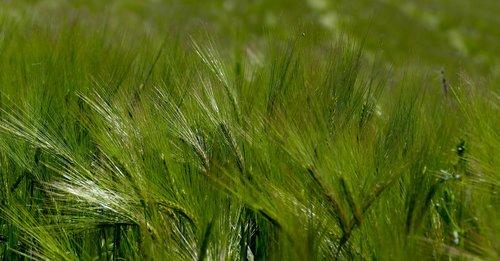 agriculture  cereals  halme