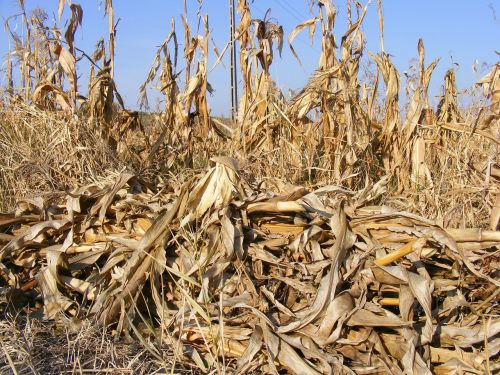 agriculture corn dried