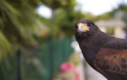 aguila bird of prey ave