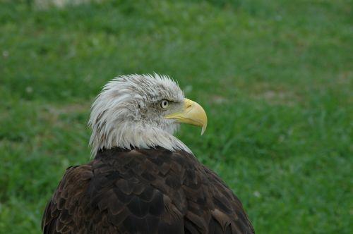 aguila eagle birds of prey