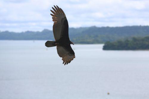 águila eagle bird