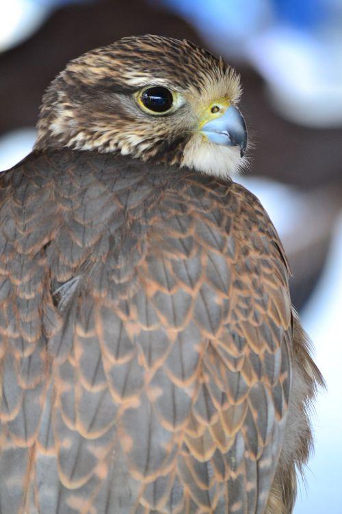 aguila bird of prey feathers