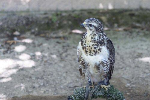 aguila  falcon  ave