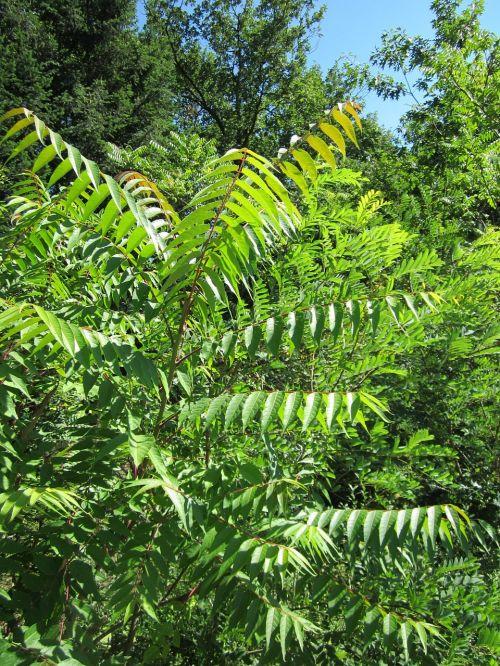 ailanthus altissima invasive plant
