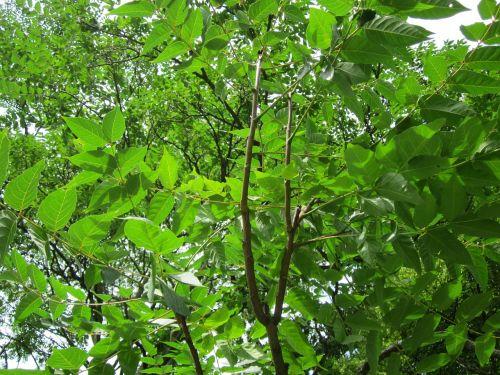ailanthus altissima tree of heaven flora