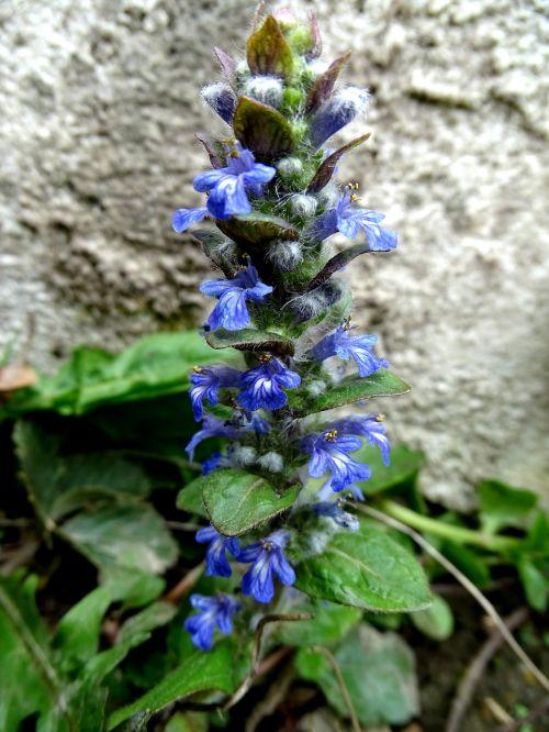 ajuga günsel spring flower bugle