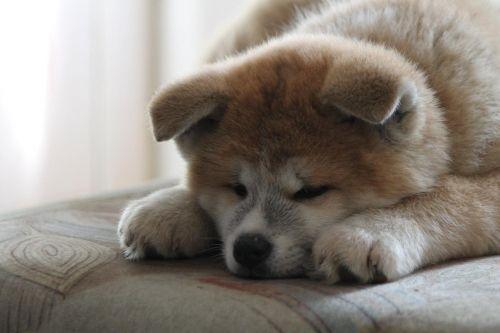 akita akita inu puppy