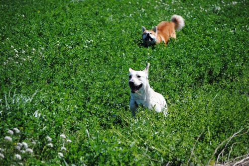 akita labrador dogs