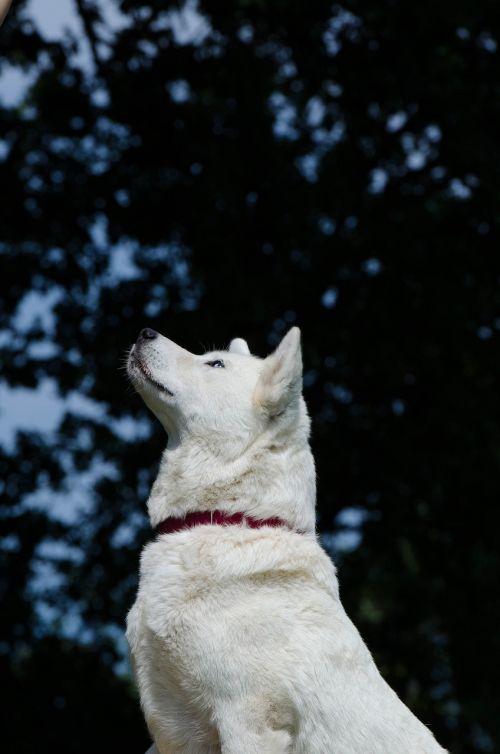 akita inu husky hybrid