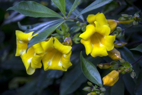 alamanda yellow yellow flower gardening