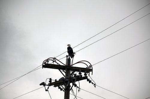 alaska  eagle  bird