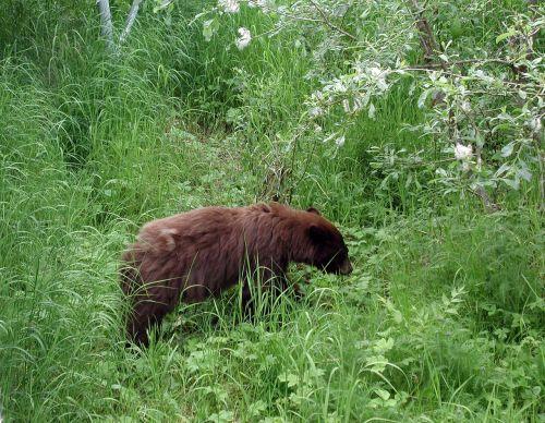 alaska bear bear black bear
