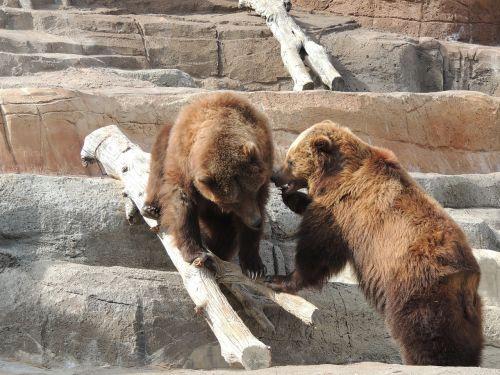 alaskan brown bear brown bear bear
