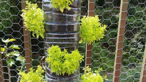 albahabaca vertical garden basil large leaf