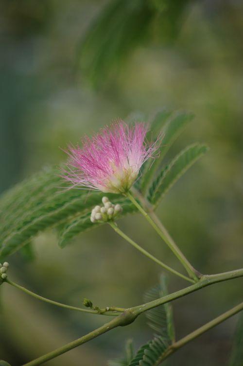 albizia silk tree acacia of constantinople