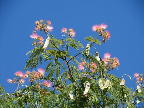 albizia julibrissin persian silk tree pink silk tree