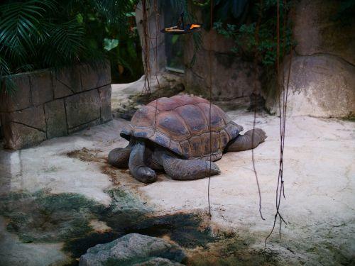 aldabra giant tortoise tortoise seychelles tortoise