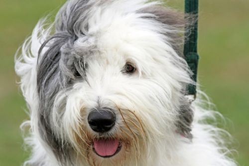 alert dog hairy