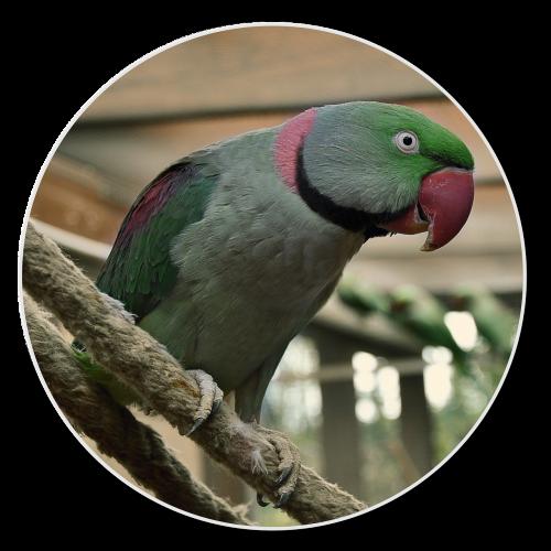 alexander parakeet hahn bird
