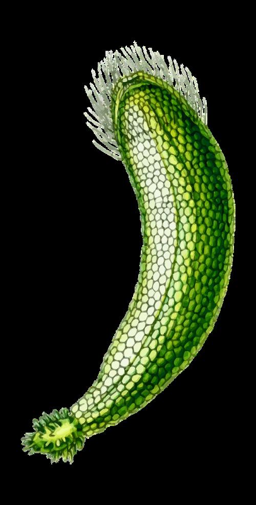 alga algae marine
