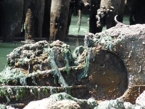Algae Covered Shore Debris